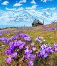 Purple Crocus flowers on spring mountain Royalty Free Stock Photo