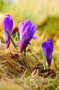 Purple crocus in the grass Stock Image