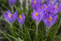 Purple crocus made his way through the soil. Royalty Free Stock Photo