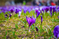 Purple crocus in the middle of the carpet of crocuses jasne blonia szczecin poland Royalty Free Stock Photo
