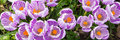 Purple crocus panorama of as background or banner Royalty Free Stock Photo
