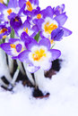 Purple crocus in snow early spring for easter Stock Photos