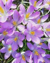 Purple crocus in spring Royalty Free Stock Photo