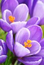 Purple crocuses closeup Royalty Free Stock Image