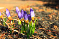 Purple crocuses in the springtime Royalty Free Stock Photography