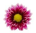 Purple Dahlia flower Royalty Free Stock Photo