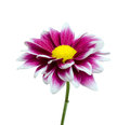Purple Dahlia flower isolated on white Stock Photos