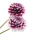 Purple dahlias. Royalty Free Stock Photography