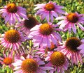 Purple daisies Royalty Free Stock Photo