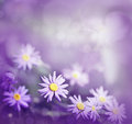 Purple daisies in the grass Royalty Free Stock Images