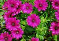 Purple Daisies After Rain Royalty Free Stock Photo
