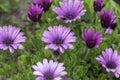 Purple daisies in the rain Royalty Free Stock Photo