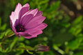 Purple daisy flower catching sun in the garden Royalty Free Stock Photo