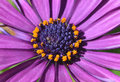 Purple daisy flower in garden Royalty Free Stock Photos