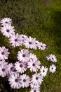 Purple Daisy flowers in bloom Royalty Free Stock Photos