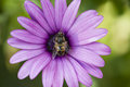 Purple daisy and fly with bee like Stock Photography