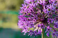 Purple dandelion Royalty Free Stock Photo
