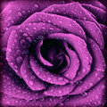 Purple dark rose background Royalty Free Stock Photo