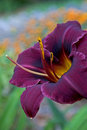 Purple Day Lily Close-Up Royalty Free Stock Photography