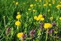 Purple Dead Nettle (Lamium purpureum) and yellow dandelion in meadow Royalty Free Stock Photo