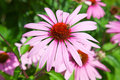 Purple echinacea Royalty Free Stock Photo