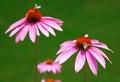 Purple echinacea Royalty Free Stock Photo