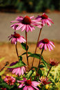Purple echinacea in bloom Royalty Free Stock Photo