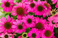 Purple echinacea flowers Royalty Free Stock Photo