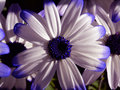 Purple-edged, white daisy in the Summer garden. Royalty Free Stock Photo