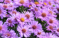 Purple Fall Asters Royalty Free Stock Photo