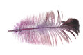 Purple feather on a white background Royalty Free Stock Photo