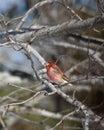 Purple finch in oak tree Royalty Free Stock Photography