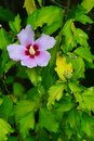 Purple flower and autumn leaves ose of Sharon, latin name Hibiscus Syriacus, viewed from above Royalty Free Stock Photo