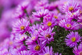Purple flower beautiful in the gard Royalty Free Stock Photos