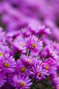 Purple flower beautiful in the gard Stock Photography
