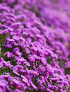 Purple flower beautiful in the gard Royalty Free Stock Images