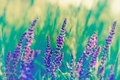Purple flower beautiful meadow and grass Royalty Free Stock Photography