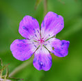 Purple flower a beautiful single Royalty Free Stock Images