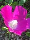 Purple flower a beautiful texan wildflower Royalty Free Stock Photos