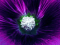 Purple flower on a blurred background. Macro. Closeup. Furry white center.  For design. Royalty Free Stock Photo