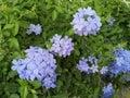 Purple flower bouquet is a beautiful bush. Royalty Free Stock Photo