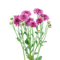 Purple flower chrysanthemum purple isolated on white background Royalty Free Stock Photography