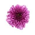 Purple flower chrysanthemum purple isolated on white background Royalty Free Stock Photos