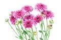 Purple flower chrysanthemum purple isolated on white background Stock Photography