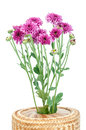 Purple flower chrysanthemum purple isolated on white background Stock Image