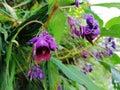 Purple flower close shot. Royalty Free Stock Photo
