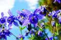 Purple flower of European columbine (Aquilegia vulgaris) in sunn Royalty Free Stock Photo