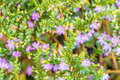 Purple flower, false heather or elfin herb (Cuphea hyssopifolia Royalty Free Stock Photo