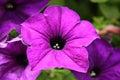 Purple flower in garden Royalty Free Stock Image