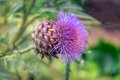 Purple flower of a Globe Artichoke plant from close Royalty Free Stock Photo